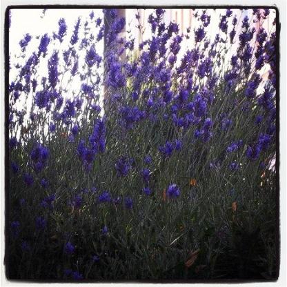 Wild Spanish Lavender.